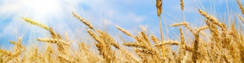 wheat-600x400